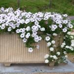 fleurs camping Aumont-Aubrac